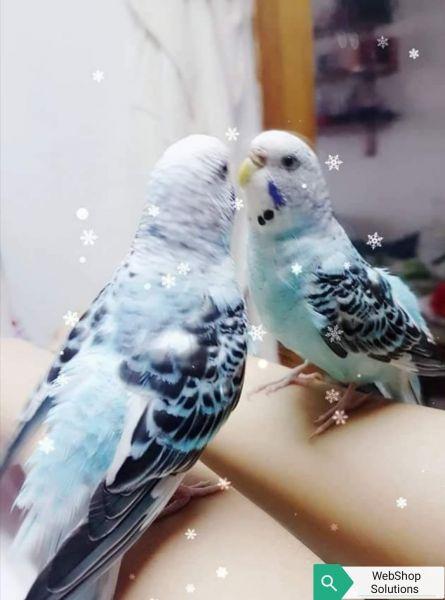 La perruche Blue
